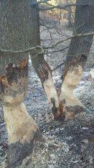 Drzewa nadgryzione przez bobry