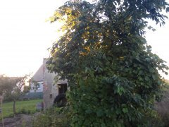 Drzewo winogronowe.