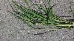 Jaka to odmiana trawy ?