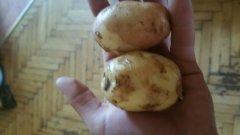 Młody ziemniak