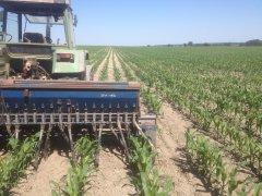 Podsiewanie kukurydzy