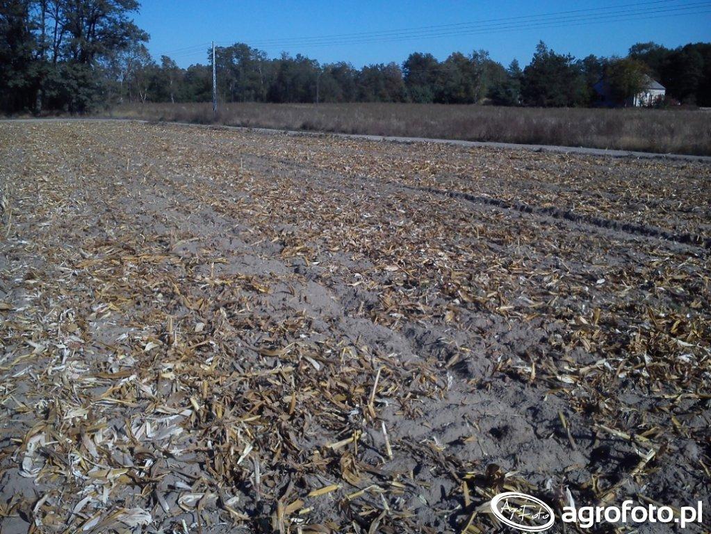Pole po kukurydzy