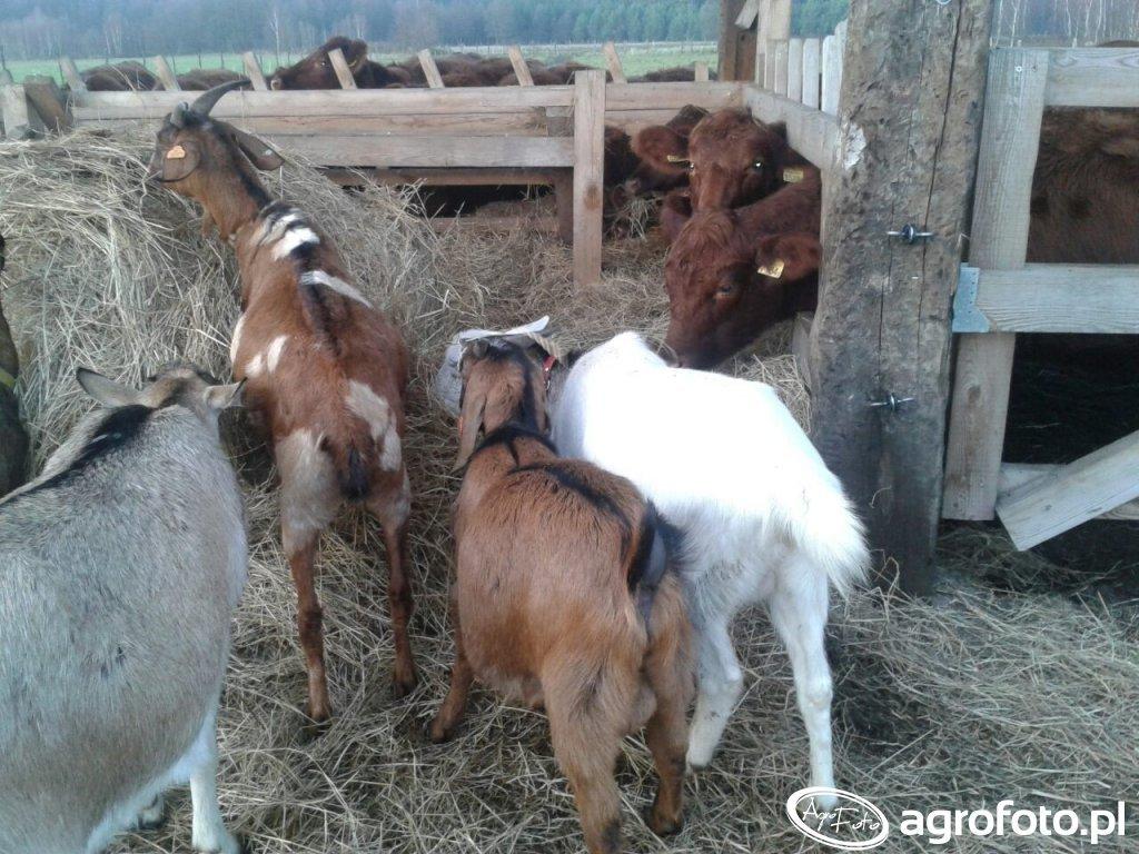 Angusy I kozy