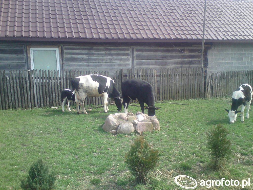 Cielaki i krowa