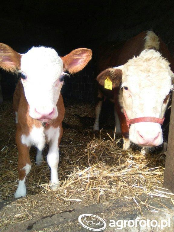 Krowa Hh i Jałóweczka HHxMO