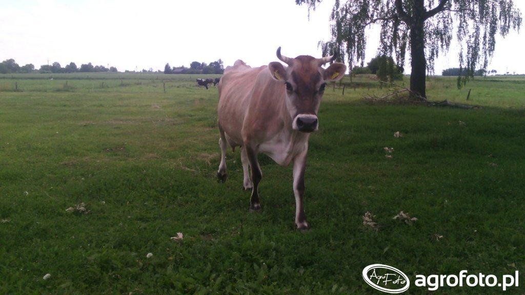 Krowa Jersey