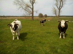 Krowa i jałówka