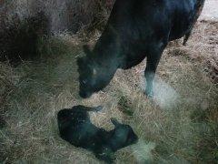 Krowa & jaloszka