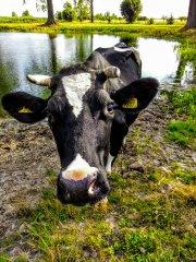 Krowa mleczna