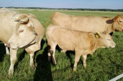 Krowy & cielak