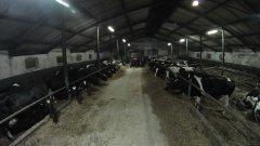 Krowy mleczne HF w oborze wolno stanowiskowej