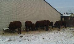 Salersy,  krowy przy śrucie