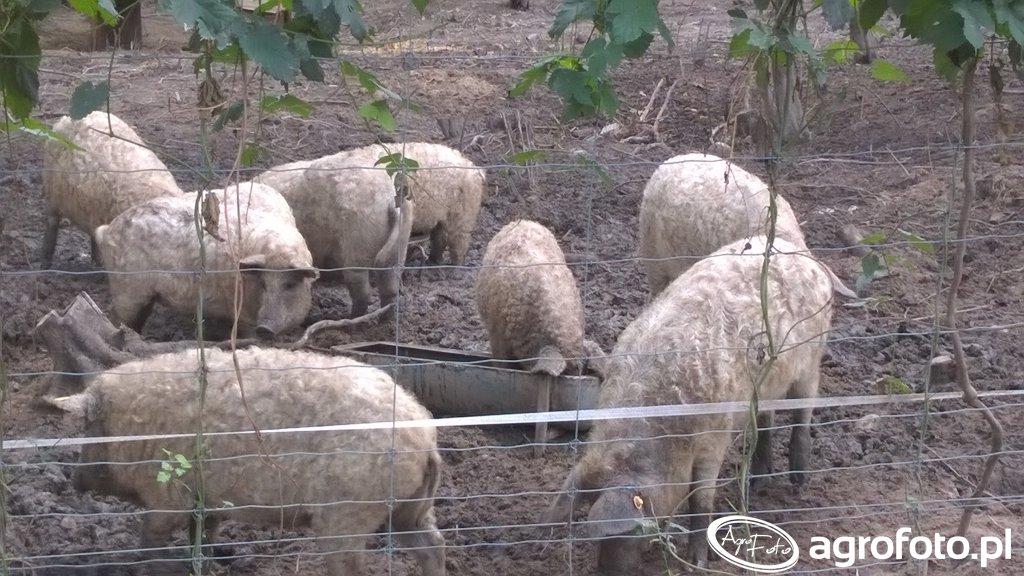 Mangalica świnia pastwiskowa