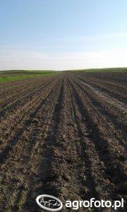 Burak cukrowy polanin