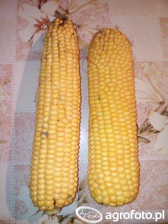 kukurydza susann