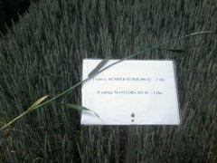 Mazowieckie Dni Rolnictwa 2015r. Wstępna ocena działania fungicydów