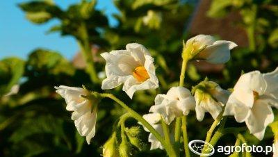 Kwiaty ziemniaka