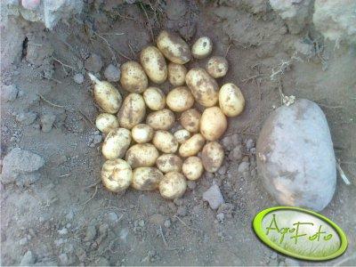 Ziemniaki Belana