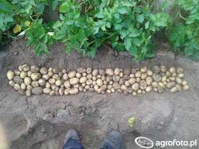 Ziemniaki Gala