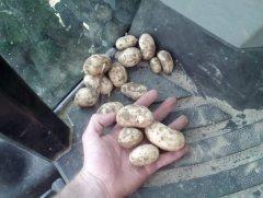 Ziemniak wczesny