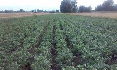 Ziemniaki IRGA