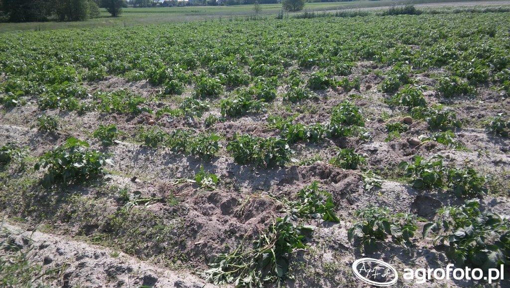 Ziemniaki zniszczone przez dziki
