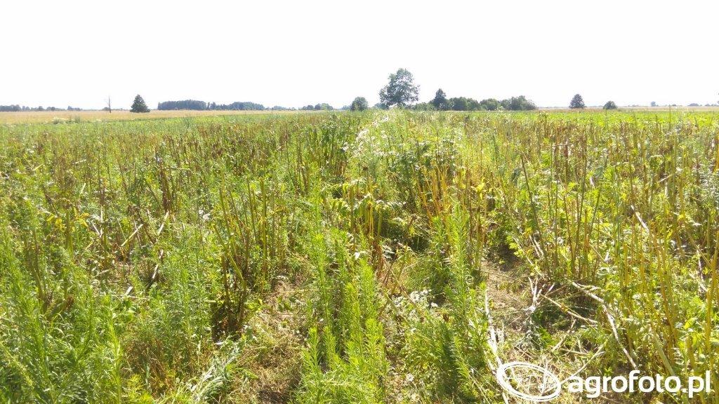 Kozłek plantacja nasienna po zbiorach