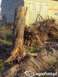 Efekt całodziennej pracy teraz już w miesce tych drzew rośnie jęczmień jary.
