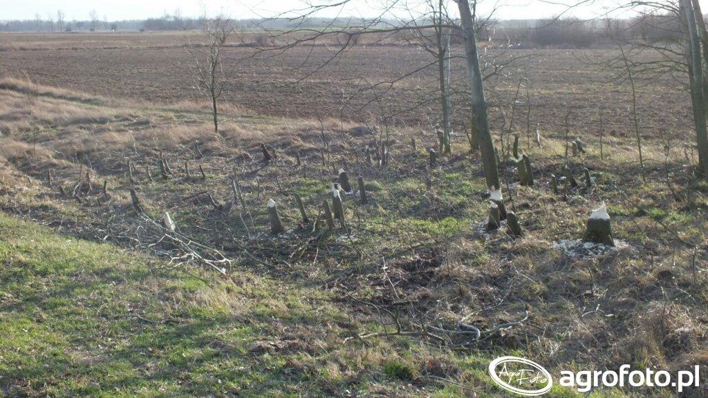 Wycinka drzew przez bobry