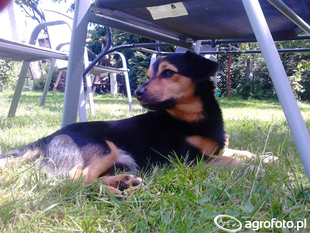 Pies Bobik
