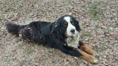 Berneński pies pasterski (Misiek)