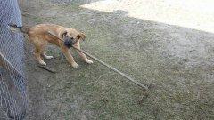 Pies Jacky