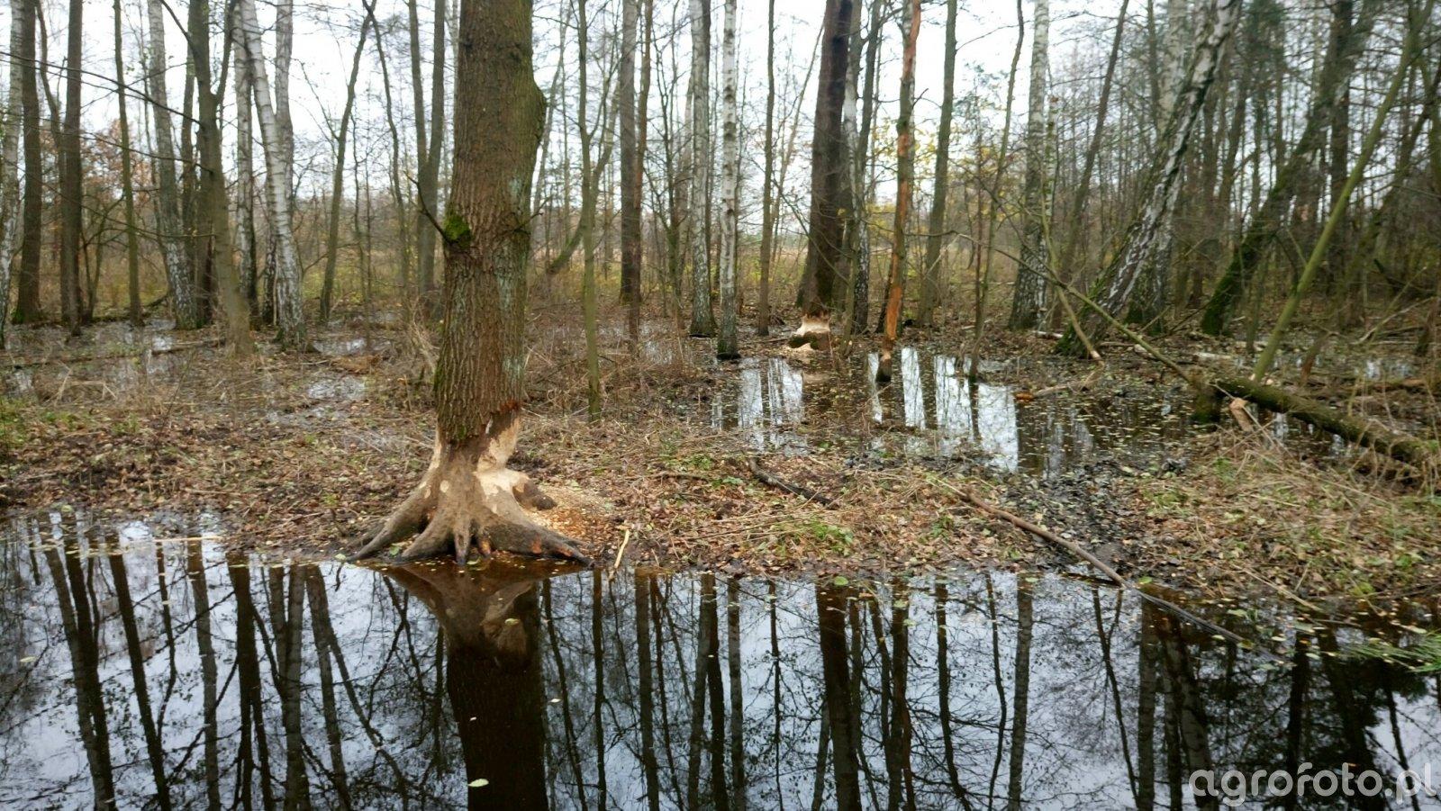 Drzewa pogryzione przez bobry