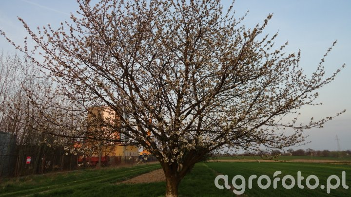 Wiosna czereśnia zaczyna kwitnąć