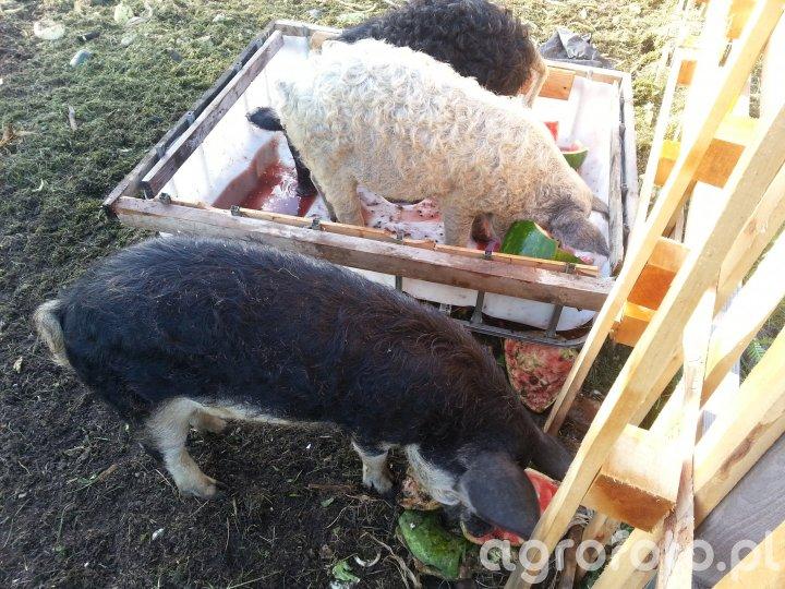 Mangalica - wegierska swinia pastwiskowa