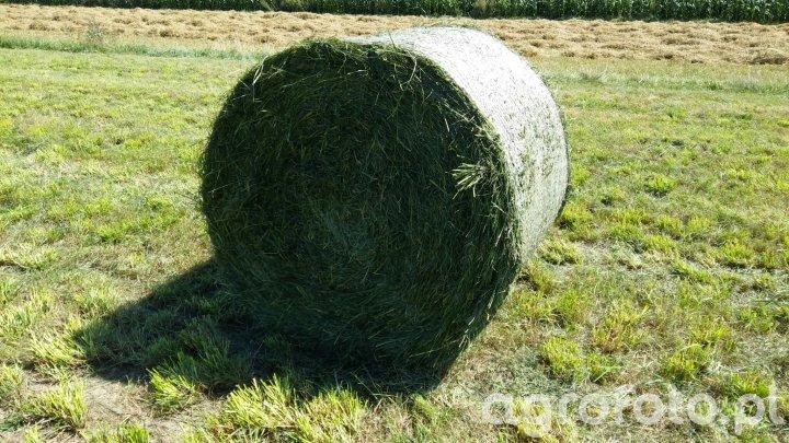 Bela trawy