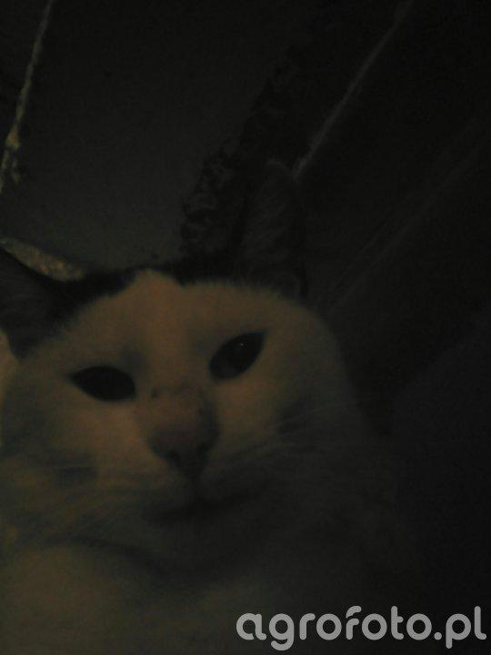 Kot Białas