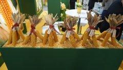 HR Smolice- porównanie kolb kukurydzy