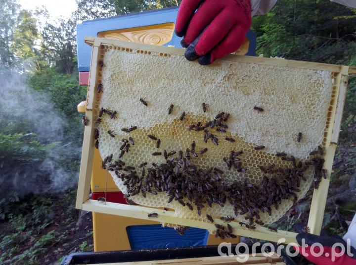 Pszczoła krainka Melissa