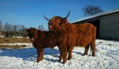 Highland i cielak po salersie
