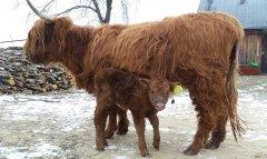 Higland, krowa z jałóweczką