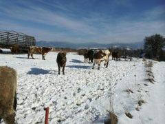 Krowy