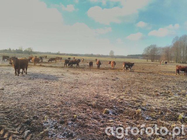 Krowy na zimowisku