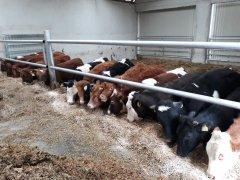 Byczki w stodole