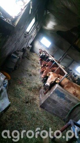Jalówki i Krowy