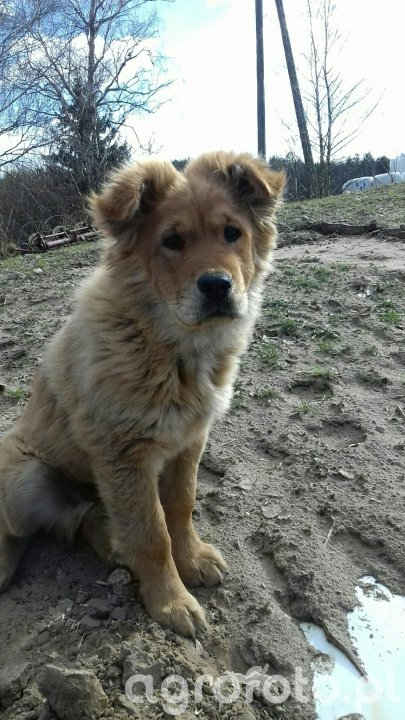 Pies Dyzio