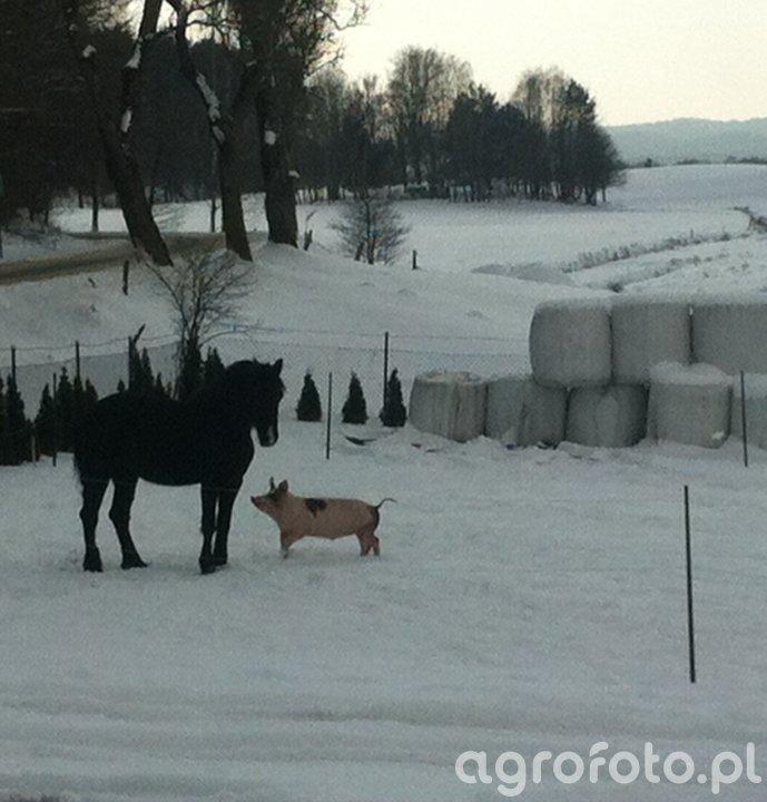 Koń i Świnia
