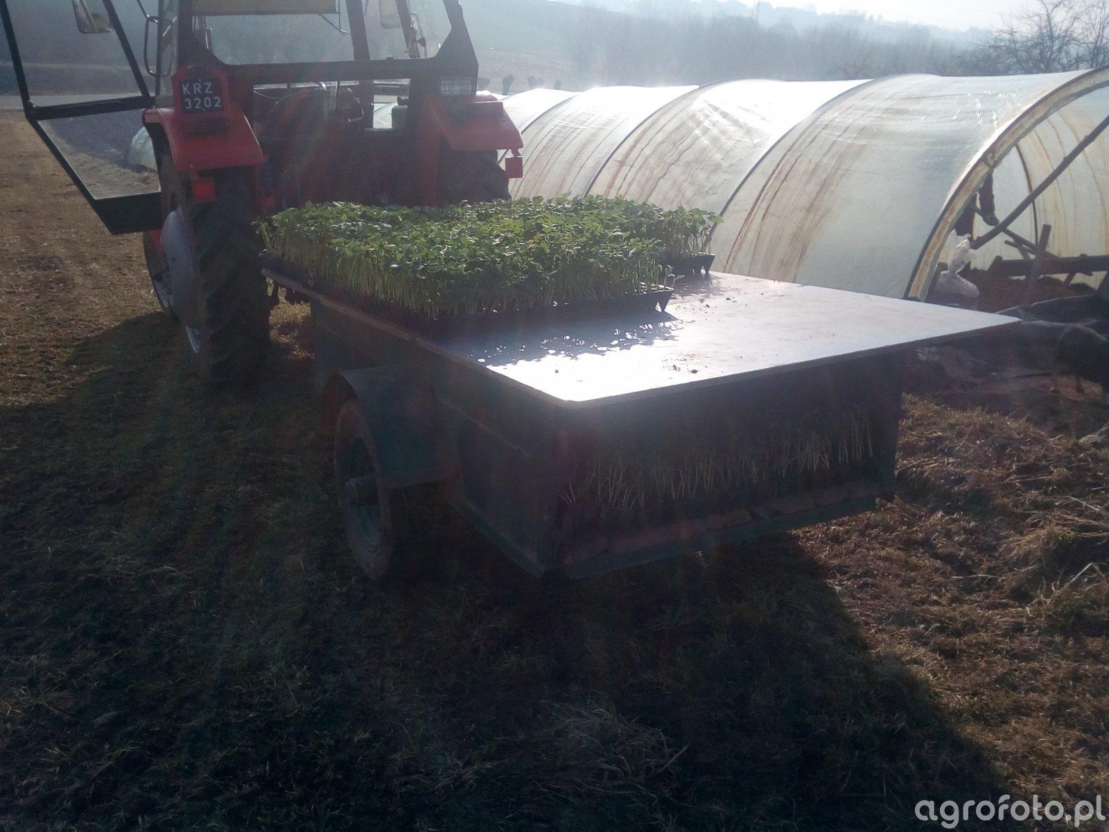 Sadzenie fasoli pod folią
