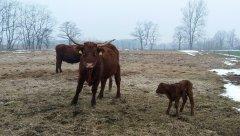 Salersy, krowa z jałóweczką