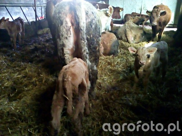 Krowy & cielaki